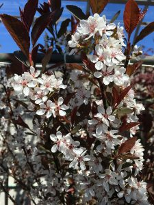 The new Dark Star shrub blooms with light pink flowers.