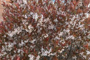 Dark Star, a smaller form of purple leaf sand cherry, is one of Mark Brand's new patented plants.